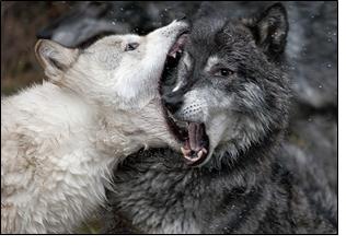 fuck_wolves